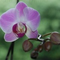 090627_Orchidee-01-small