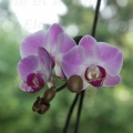 090702_Orchidee-01-small